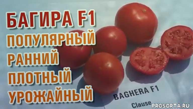 плотный высоко урожайный томат помидор, polevod tv, agro7, полевод тв, агро7, круглый помидор, круглый томат, красный помидор