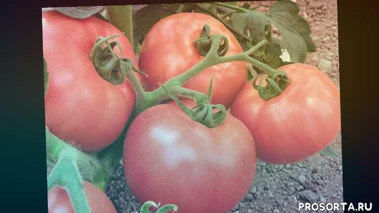 открытый грунт, томаты, хранение овощей, овощи, выращивание