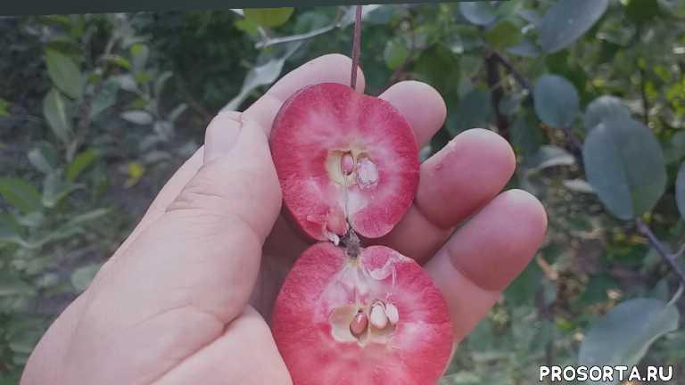 яблоня райка керр