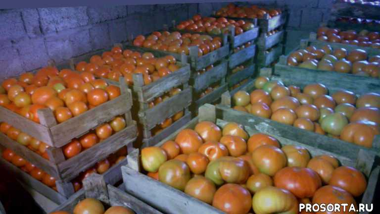 не болеет томат, выдерживает жару томат, транспортабельный томат, томат не болеет, хороший гибрид, легкий в выращивание томат, универсальный томат, томат для теплиц