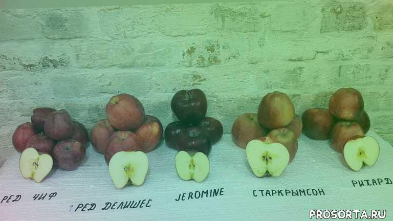 сорта яблок, яблоня ред делишес, яблоня рихард, яблоня джеромине, яблоня старкрымсон, яблоня ред чиф, зимние сорта яблок, яблоня