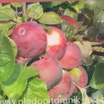Яблоня сорт Алеся. Самый востребованный промышленный  сорт яблок белорусской селекции.