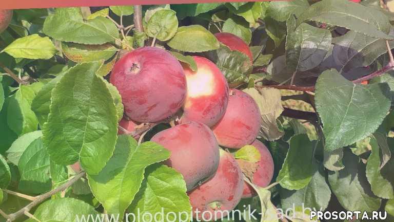 сорта яблок, белорусский питомник, плодопитомник сад, красные яблоки, промышленнй са, сад, яблоки на хранение, белорусские сорта яблок