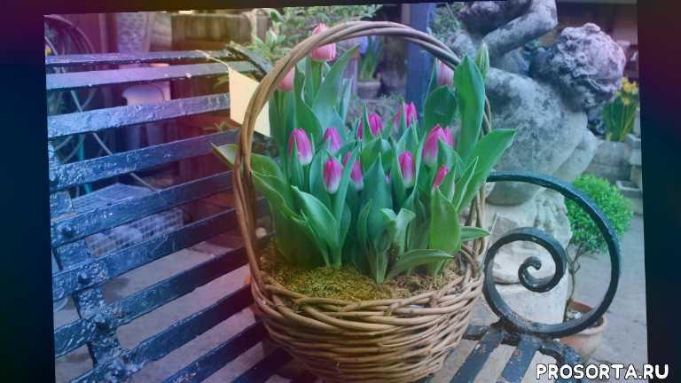 в горшках, на продажу, квартире, выгонка тюльпанов в квартире, зимой, выгонка тюльпанов зимой, к новому году, домашние