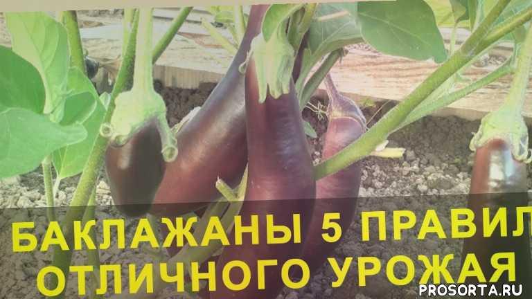 перец баклажаны выращивание, баклажаны супер урожай, баклажаны 5 правил отличного урожая, domavedus, домаведус, грядки, новый способ, идеи