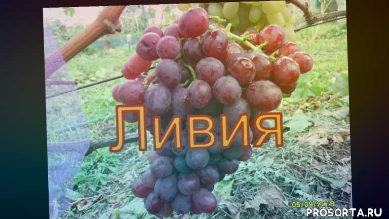 winogrona bialorusi, grapes belarus, сорт гибридной формы - ливия., описание винограда - ливия., виноградорство беларуси., северный виноград, горздь виноградв -ливия, ягода винограда -ливия