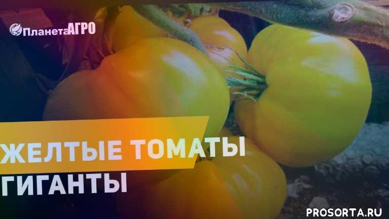 планета агро, помидоры высадка в открытый грунт, салатные помидоры, planet, last day on earth survival, earth, томатный сок, помидор