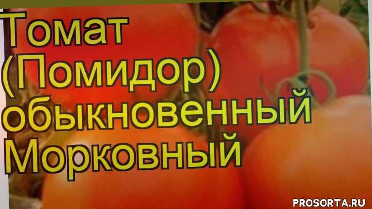 томат обыкновенный морковный уход, томат обыкновенный морковный посадка, томат обыкновенный морковный отзывы, где купить саженцы томат обыкновенный морковный, купить саженцы томата морковный, саженцы томат обыкновенный морковный, видео томат обыкновенный морковный, томат обыкновенный морковный описание характеристик