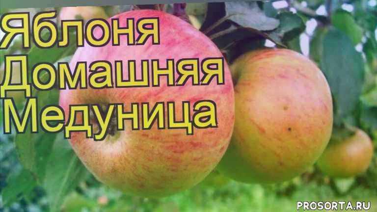 яблоня домашняя медуница уход, яблоня домашняя медуница посадка, яблоня домашняя медуница отзывы, где купить саженцы яблоню домашнюю медуница, купить саженцы яблони медуница, саженцы яблоню домашнюю медуница, видео яблоня домашняя медуница, яблоня домашняя медуница описание характеристик
