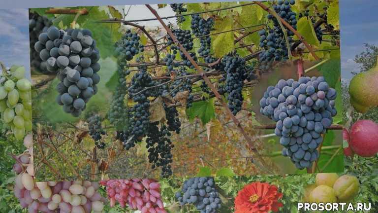 виноградное домашнее вино, домашнее вино, винный виноград, сорта, виноград