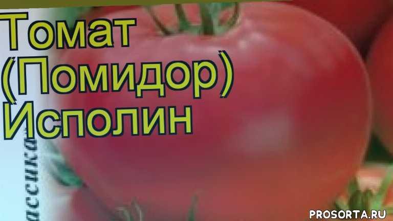 томат исполин какие растения сажают рядом, томат исполин посадка и уход, томат исполин уход, томат исполин посадка, томат исполин отзывы, где купить семена томат исполин, купить семена томата исполин, семена томат исполин