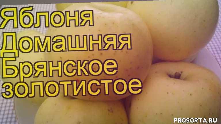 где купить саженцы яблоню домашнюю брянское золотистое, купить саженцы яблони брянское золотистое, саженцы яблоню домашнюю брянское золотистое, видео яблоня домашняя брянское золотистое, яблоня домашняя брянское золотистое описание характеристик, краткий обзор яблоня домашняя брянское золотистое, malus domestica brianskoe zolotistoe, malus domestica