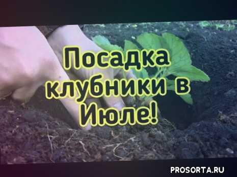 как правильно посадить клубнику, клубника видео, клубника грядка, клубника открытый грунт, клубника куст, клубника рассады, клубника сажать, посадка усов клубники