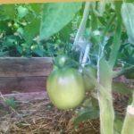 Томат Алтайский сюрприз от Ольги Чрновой. Довольно интересный томатик.