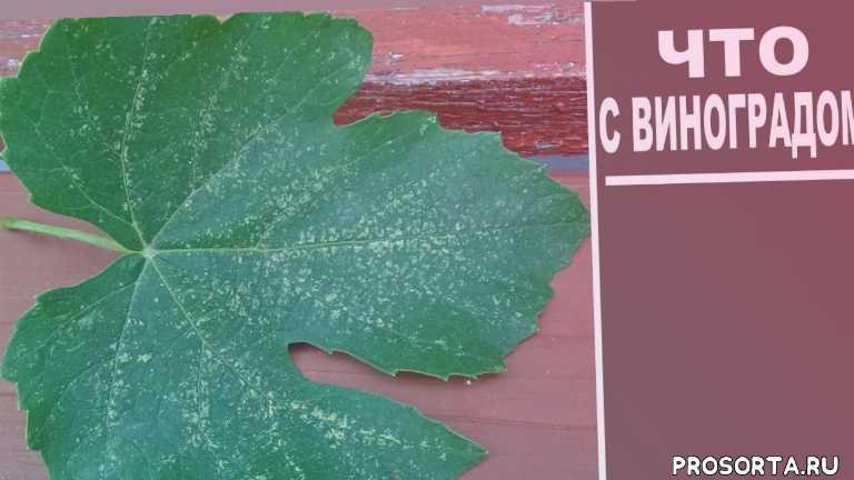 любимая усадьба, уход за виноградом, выращивание винограда, цикадка белая, обработка винограда, защита винограда, виноград, как вырастить