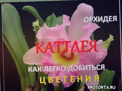 как правильно ухаживать за орхидеей каттлея, как добиться цветения каттлеи, как зацвести орхидею каттлею, микориза, фласка, фитолампа, стимулятор, удобрение