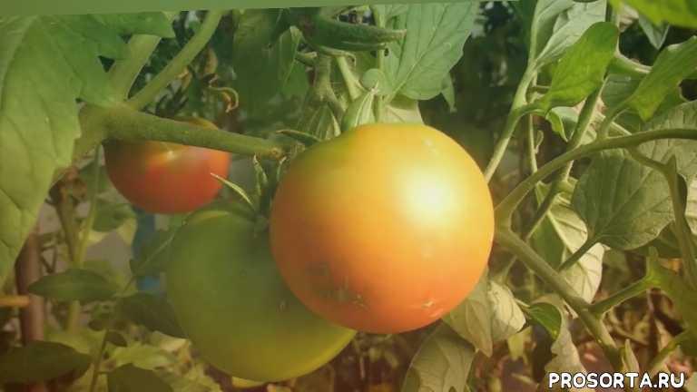 какие помидоры дают по два урожая плодов за лето