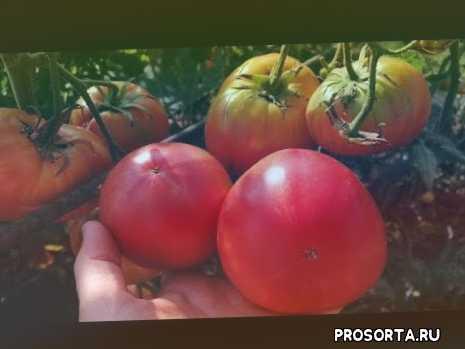 лучшие высокорослые томаты, томат бабушкин секрет, #дачный сезон круглый год, дачный сезон круглый год, #сорта томатов 2019, #томат на консервацию, #сорта томатов для открытого грунта, какие помидоры буду сажать обязательно
