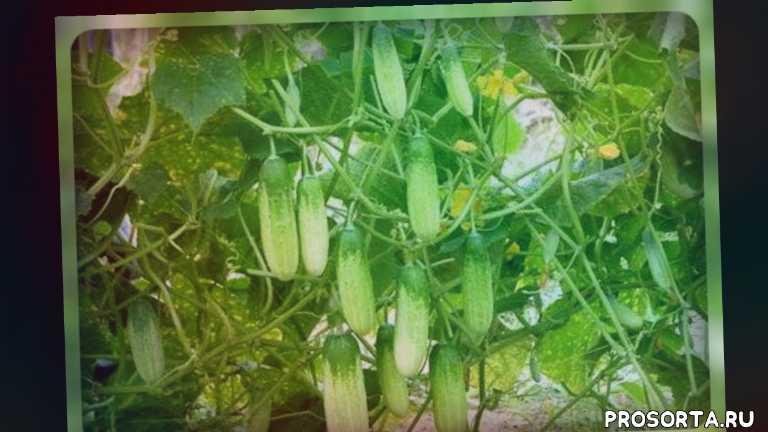 овощи, дачникам, огородникам, как выбрать огурцы, семена огурцов, огурцы, сорта огурцов, гибриды огурцов