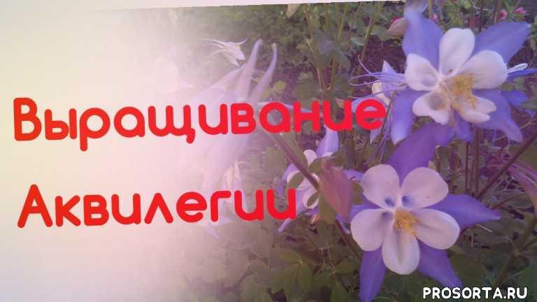 ваша дача, татьяна башмакова, аквилегия, выращивание