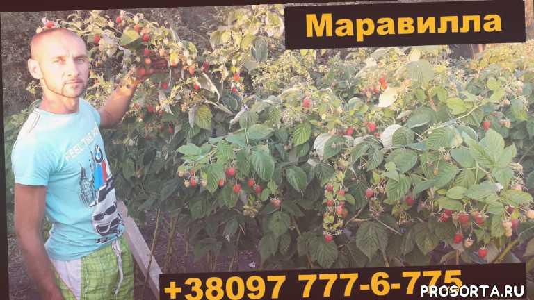 сбор ягоды, выноград, маравила, сорт малины маравилла, выращивание в теплице, vadym bardar, вадим бардар, ремонтантная