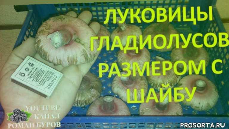 пленочный обогреватель домашний уют, видео про цветы, луковицы гладиолусов, выращивание гладиолусов, как выращивать гладиолусы, как сохранить зимой луковицы гладиолусов, когда выкапывать луковицы гладиолусов, как сушить луковицы гладиолусов