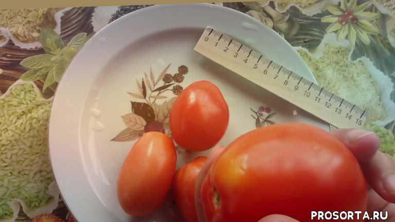 томаты для открытого грунта, томат для открытого грунта, томат боец дегустация, дегустация, томат боец, боец, томат