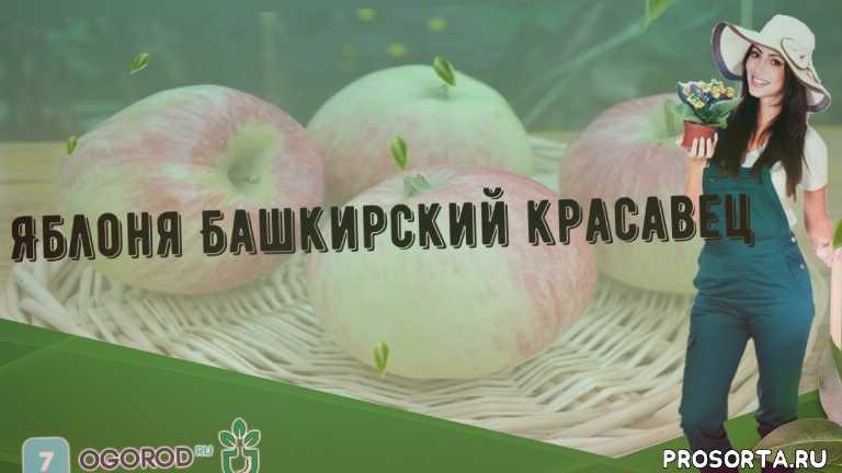 Яблоня Башкирский красавец