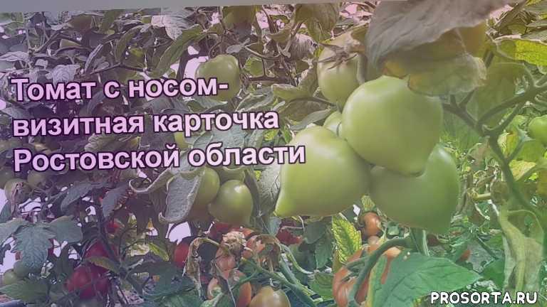 аксель, купить аксель, купить семена аксель, семена акселя, global seeds, глобал сидс, семена томатов, добрые семена ру