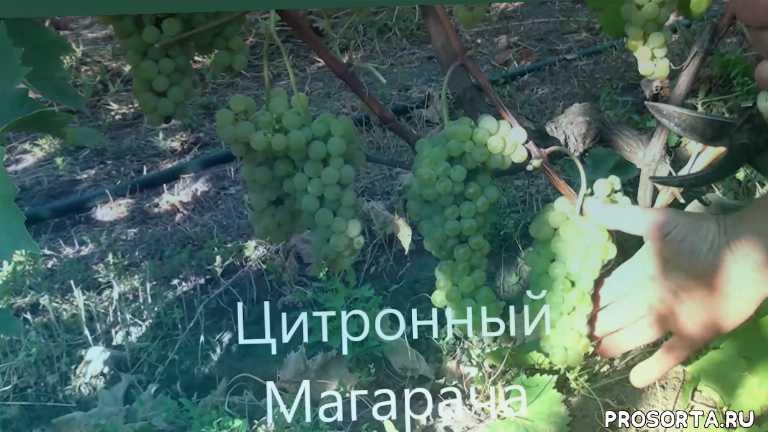 влдимир плясунов, лучшие винные сорта винограда, виноград цитронный магарача, цитронный магарача