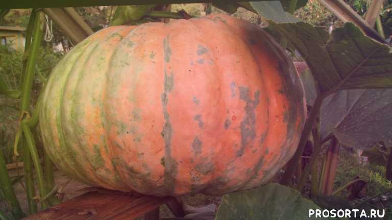 наталья петренко, семена аэлиты, сорта аэлиты, садовый мир, тыквы переопыляются, какую выбрать тыкву, сорта тыквы, вкусные тыквы