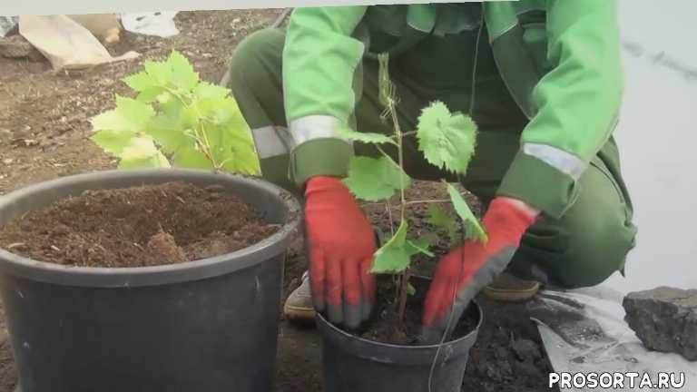 посадка винограда в сибири, садоводство, виноград, vinograd