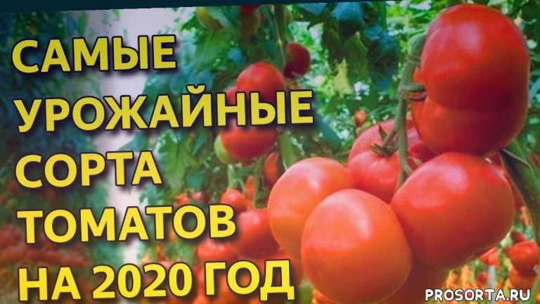 супер томаты, лучшие томаты, лучшие томаты 2020, самые урожайные сорта томатов, что выбрать на сезон посадки, помидор, томат, сорт помидор