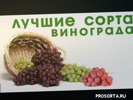 garden zoo, сельское хозяйство, дача, огород, сад, виды винограда, винный виноград, что такое виноград