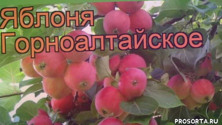 саженцы яблони, яблоня горноалтайское обзор как сажать, деревья, обыкновенная яблоня горноалтайское обзор как сажать, обыкновенная яблоня горноалтайское обзор, обыкновенная яблоня, обыкновенная яблоня горноалтайское, горноалтайское обзор