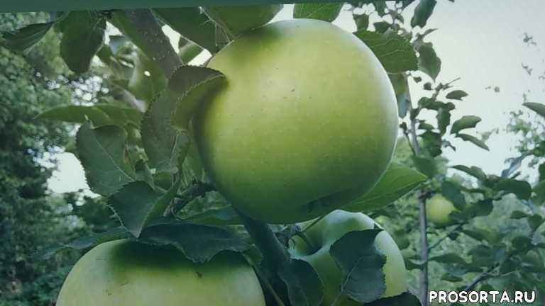 Яблоня сорт позднезимний Мутсу