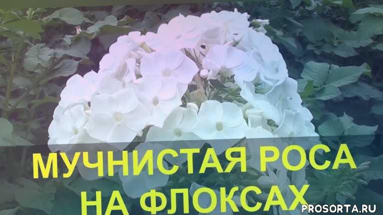 цветоводство, идеи, новый способ, domavedus, домаведус, фунгицид, мучнистая роса на флоксах, мучнистая роса