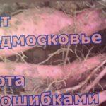 Урожай батата не порадовал.  Работа над ошибками по выращиванию батата в Подмосковье.