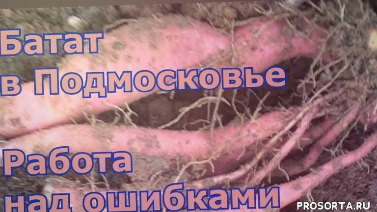 польза батата, где купить рассаду батата, как размножить батат из клубня, ипомея батата черенкование, черенкование батата видео, как вырастить батат в подмосковье из магазинного клубня, как вырастить батат в подмосковье, батат вырастить в подмосковье