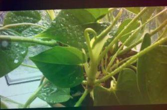У Антуриума новые листья кривые, а цветоносы не вылезают из пазух листьев. Не хватает влажности