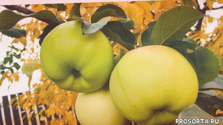 какие яблоки хранятся до весны, зимние сорта яблонь для урала и сибири, урожайные сорта яблонь, урожай яблок, сроки уборки зиних сортов яблок, яблоня богатырь, яблони