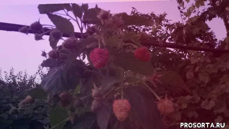 малина joan j, ягоды малины, ягодные кустарники, малина описание, малина, малина лучшие сорта, малина джоан джей описание сорта, малина джоан джей описание