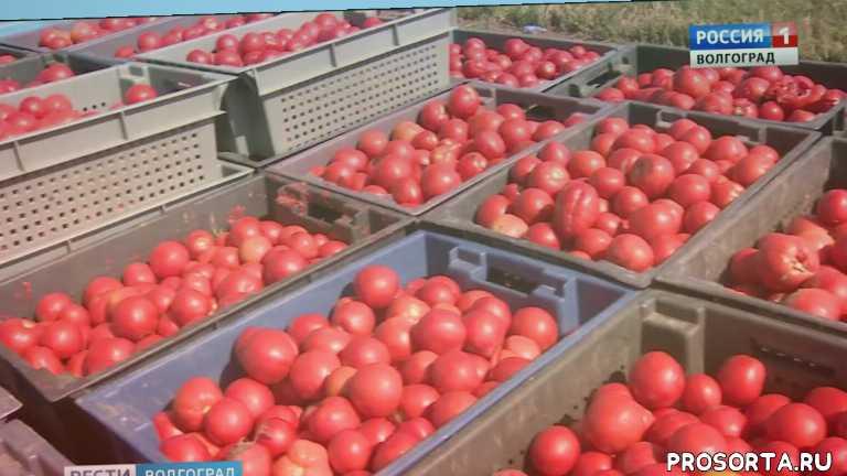 Волгоградским томатам намерены вернуть былую славу
