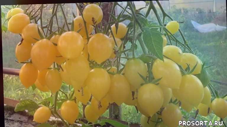 кистевые, желтые томаты, самые урожайные, лучшие черри, черри, лучшие помидоры в теплице, лучшие томаты для теплицы, помидор фото