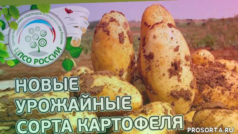 как вырастить картофель, семенной картофель, посадка картофеля, выращивание, сорт картофеля, дача, огород, картошка