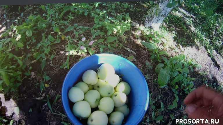 яблоня, лето, 2017, урожай, белый налив, яблоки