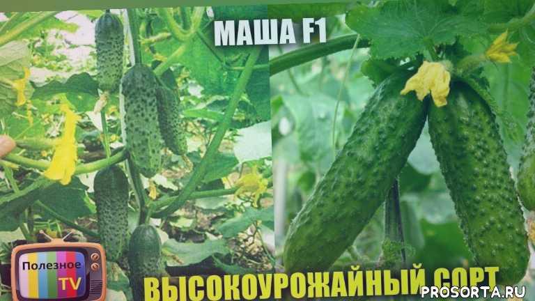 маша ф1, огурец, сорта семян огурцов, семена огурцов, как посадить огурцы, семена партнер, отзывы на сорта огурцов, какие огурцы посадить