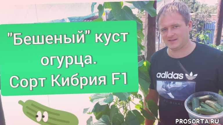 """Сорт Кибрия F1 """"Бешеный"""" куст огурца"""