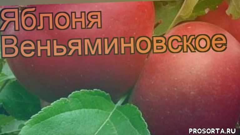 саженцы яблони, яблоня веньяминовское обзор как сажать, деревья, обыкновенная яблоня веньяминовское обзор как сажать, обыкновенная яблоня веньяминовское обзор, обыкновенная яблоня, обыкновенная яблоня веньяминовское, веньяминовское обзор