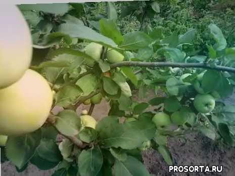 Яблоня сорт летний Донешта